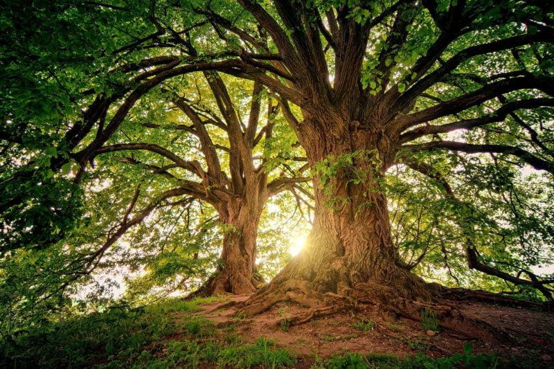 Umwelt in Amberg Zwei ältere mächtige Bäume, durch deren Kronen Licht fällt